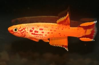 killifish_gold_lyretail3